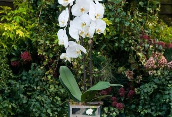 Phalaenopsis orchid in mirror cube
